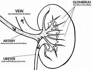 Kidney Diagram With Explanation  Medical  Anatomy  Kidney  Kidney Diagram With Explanation Png Html
