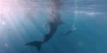 Whale Swim Under Footage Dodo Shark