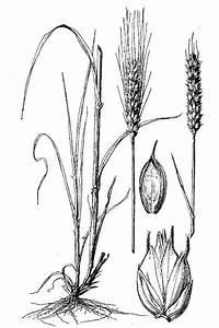 Large Image For Triticum Aestivum  Common Wheat