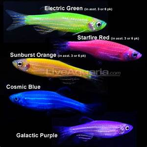 Genetics101 GM th GloFish