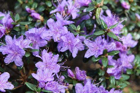 Sīklapu rododendru sugas