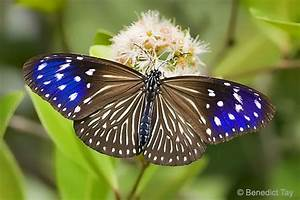 Butterflies Of Singapore  Butterfly Of The Month