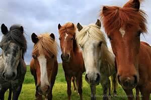 Icelandic Horses Horse
