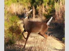 National Animal Of Honduras WhiteTailed Deer