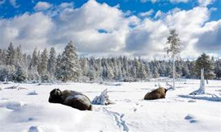 yellowstone national park winter vacations activities alltrips