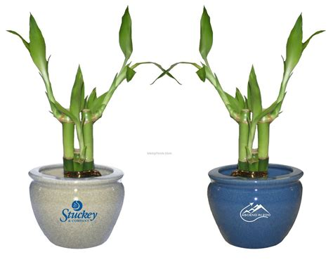 lucky bamboo plant in 4 quot 6 quot ceramic pot 4 shoots china wholesale lucky bamboo plant in 4