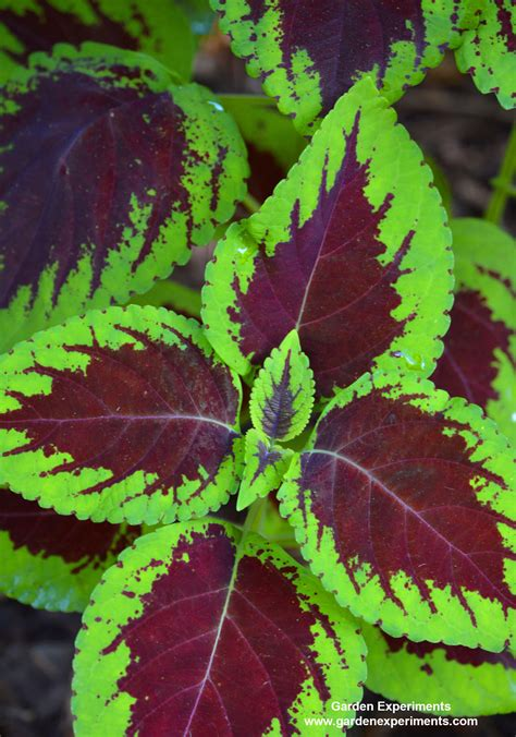 green coleus plant 10 plants for shade gardens plants grown for flowers leaf colors and as ground cover