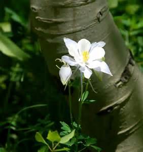 Colorado State Columbine Flower Drawing
