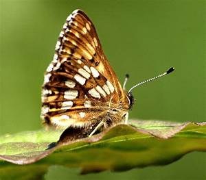Rare Animals: Top 10 Rarest Butterflies in the World