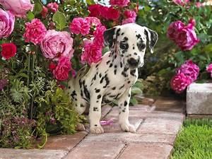 Cute Dalmatian Puppies - 5 Wallpapers Download Free ...