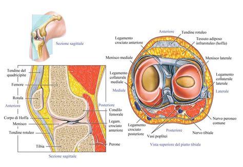 Lesione Corno Posteriore Menisco Interno Rottura Dei Legamenti Crociati Ginocchio E Menisco