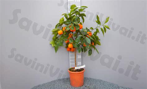 pianta fiori arancio pianta di arancio amaro corrugato in vaso 20 22 cm