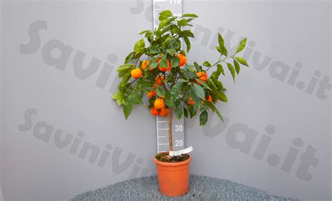 potatura arancio in vaso pianta di arancio amaro corrugato in vaso 20 22 cm