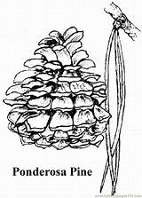 Pine Coloring Tree Cone Trees Ponderosa Drawing Montana State Lrg Printable Google Coloringpages101 Activities Drawings Games Duathlongijon sketch template