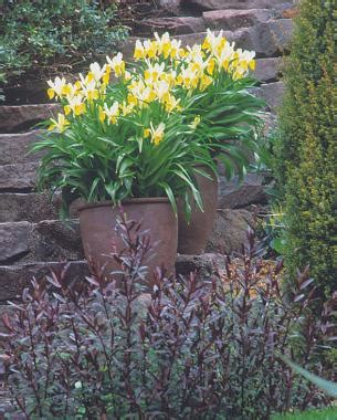 growing iris in pots planting bulbs in containers gardening