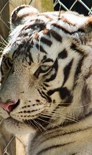 White Bengal Tiger resting | Donald Gallagher | Flickr