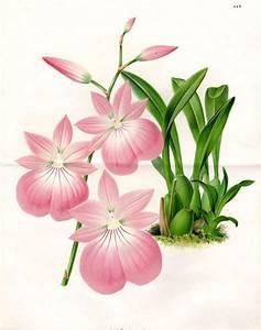1873 Pink Orchid Large Beautiful Antique Botanical Print