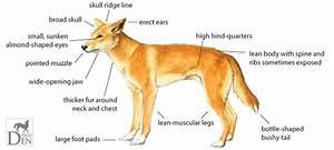 Dingo  U2013 The Animals Of Australia