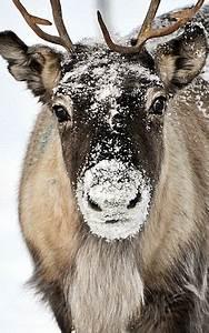 Tundra Animals Reindeer Facts Animal Facts Encyclopedia
