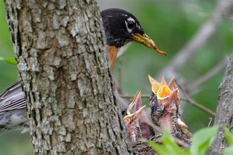 Parent Feed Baby Bird