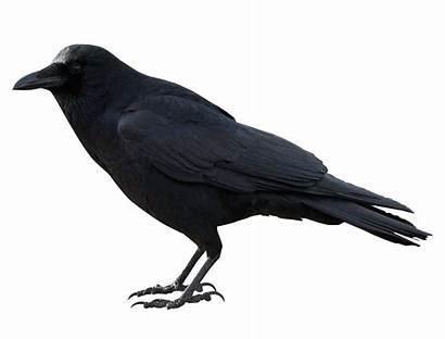 Ravens Birds Clipart Raven Bird Clip Transparent