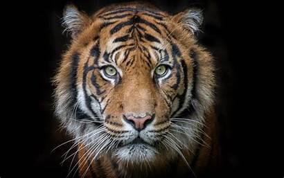 Tiger Cara Tigre Portrait Fondo Negro Pantalla