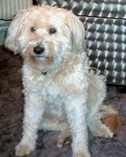 hairless khala  dutch smoushond breed comparison