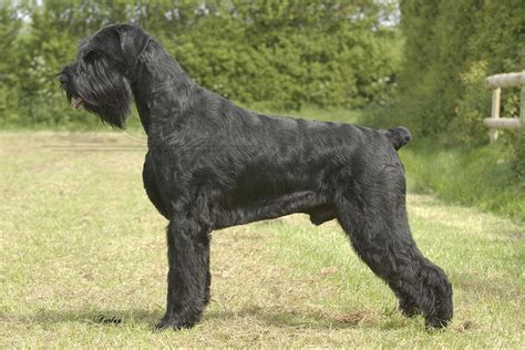 giant schnauzer pictures wallpapers