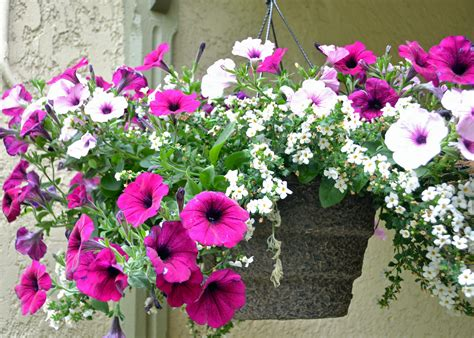hanging basket flowers how to not kill hanging plants bring joy