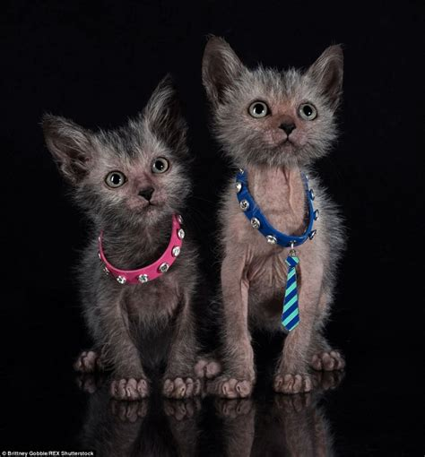 There's A Terrifying Breed Of 'werewolf Cats' That Act