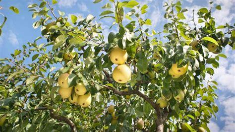 Birnbaumkrankheiten Und Schädlinge Im Überblick