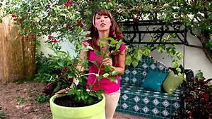 Cultivando C U00edtricos  Como Plantar Limones En Macetas Con