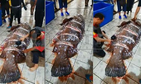 grouper labuan massive fisherman giant fish catches sells malaysia rm13 nstp videograb cutting wet shows market