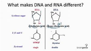 10 3 1 Differences Between Dna And Rna