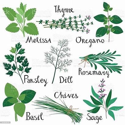 Herbs Vector Fresh Basil Herb Rosemary Illustrations