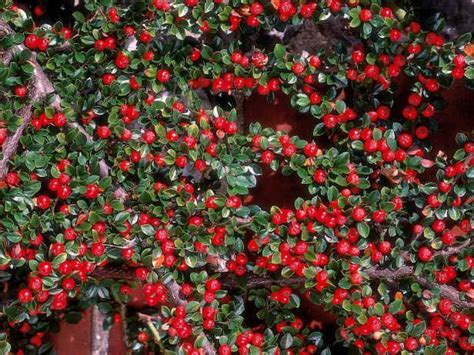 cotoneaster dammeri is a fast growing creeping shrub and