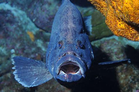 grouper fish neon marbled goby donkey inermis wikipedia flickr serranidae species noaa animals gulf agape mexico atlantic fishing mouth coast