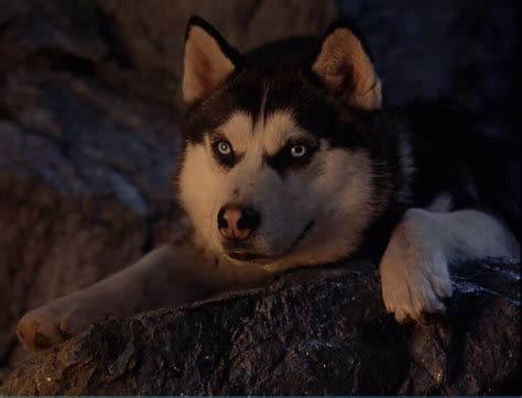 Siberian Huskies Images Demon From Snow Dogs Wallpaper