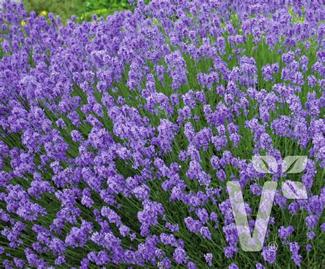 volmary stauden lavendel hidcote blue