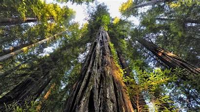 Redwood Trees Looking 4k Tree Background Wallpapers
