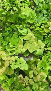 Maidenhair Fern The Must Read Growing Guide