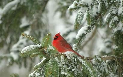Cardinal Christmas Happy Winter Desktop Bird Wallpapers