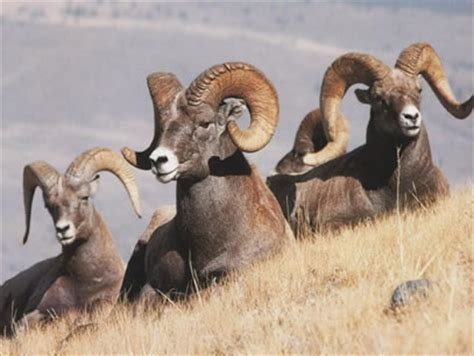 do bighorn sheep shed their horns the age of the earth antlers as a clock michael