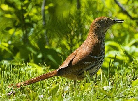 georgia state bird brown thrasher