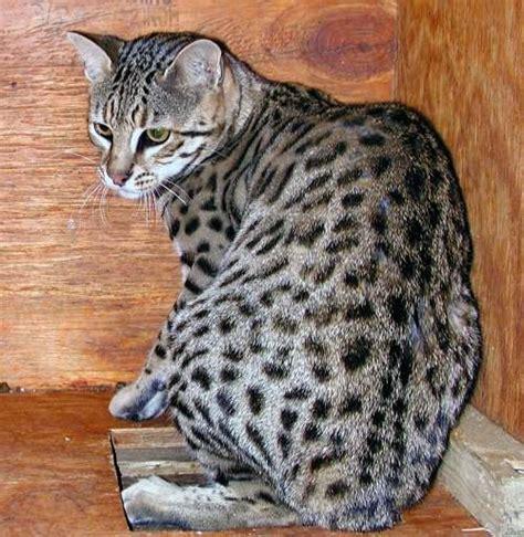 Safari Cat 5 Poc