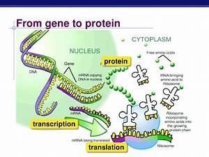 Genetic Code  Formation Of Amino Acid Code  U0026 Steps Of