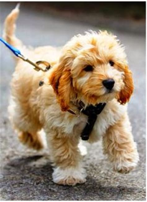 does maltipoo shed hair goldendoodle a golden retriever with curly hair and no