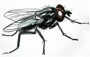 House Fly Drawing Side View