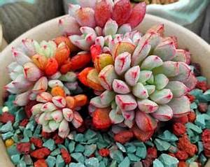 Items similar to Echeveria Neon Breakers Succulent Gift