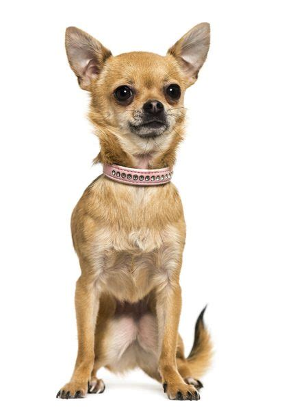 average weight   teacup chihuahua